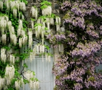 harwoodscully_wisteria_14x22