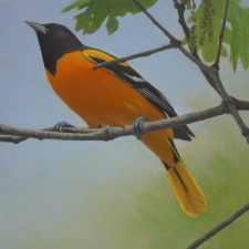 Tim-Hough-Baltimore-Oriole-9x12