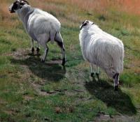 Rough Fell Sheep