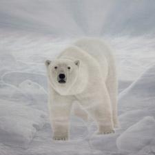 Lorenzo-Fracchetti-Polar-Bear-Blizzard-20x24
